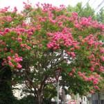 Crepe Myrtle would make an effective inclusion in a courtyard or small garden design